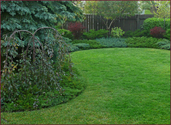 The generous curves in this simple curvilinear design are accentuated by the alternating blue and green Junipers. The Malus 'Rosyglo' in the foreground is nicely 'framed' by the arching design line around it. Photo: Sue Gaviller