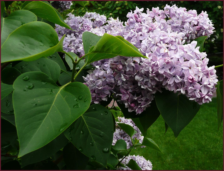 Syringa vulgaris katherine havemeyer arbustes et - Syringa vulgaris ...