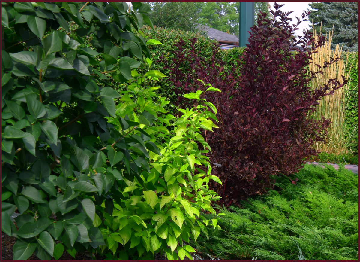Barking up the wrong tree not another gardening blog for Cornus alba