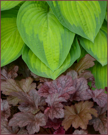 Hosta 'Guacamole' and Heuchera 'Plum Pudding'