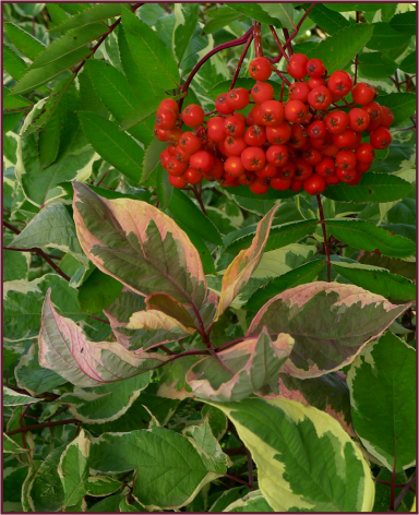 Sorbus decora berries and Cornus alba 'Cream Cracker'