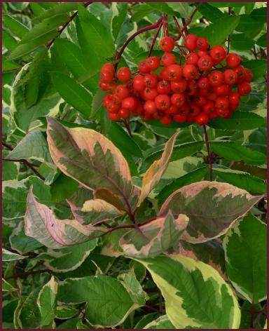 Sorbus decora berries and Cornus alba 'Cream Cracker'