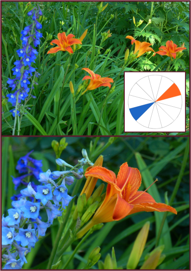 Hemerocallis fulva (tawny daylily) and blue Delphinium
