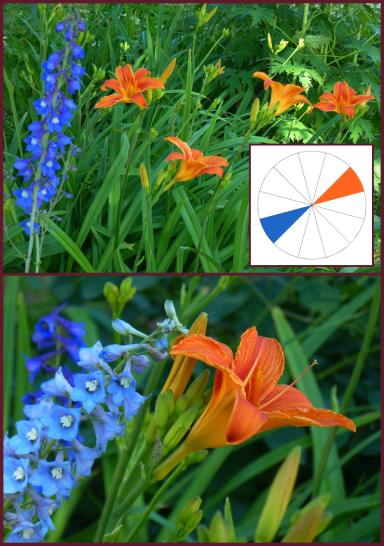 Hemerocallis fulva (tawny daylily) and blue Delphinium