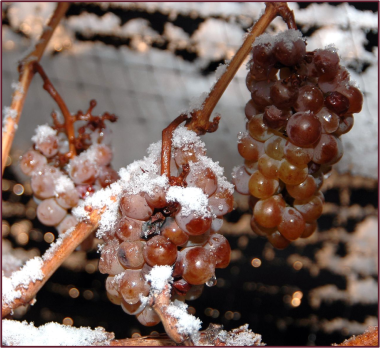 Ice wine grapes frozen on the vine. Photo credit: Wikipedia