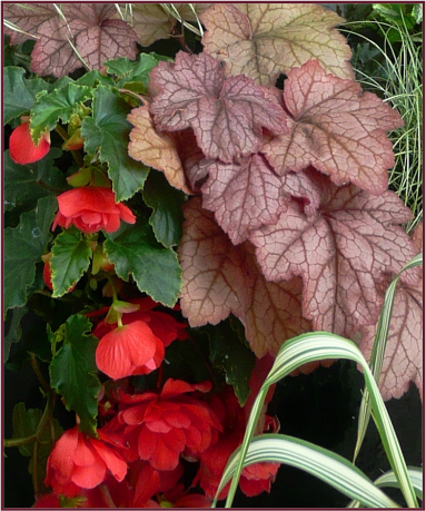Heuchera 'Georgia Peach' and Begonia 'Nonstop Salmon'