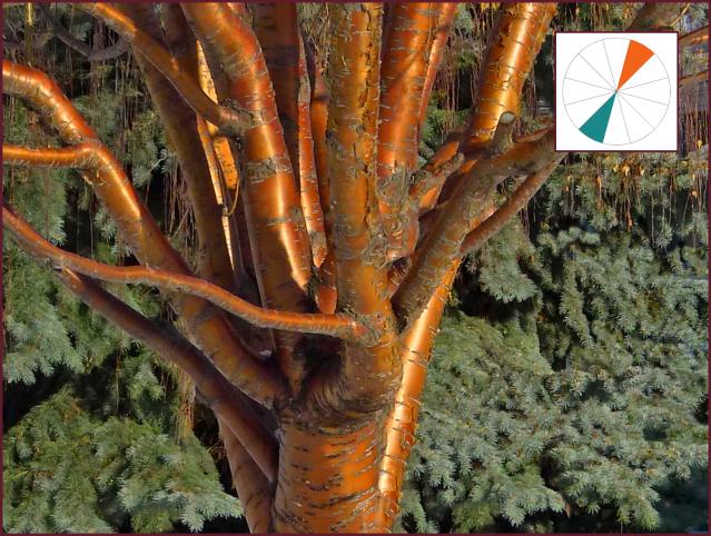 Picea pungens var. glauca and Prunus mackii.