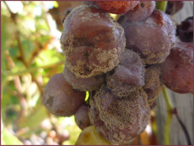 Botrytis cinerea on Semillon grapes. Photo credit: Wikipedia