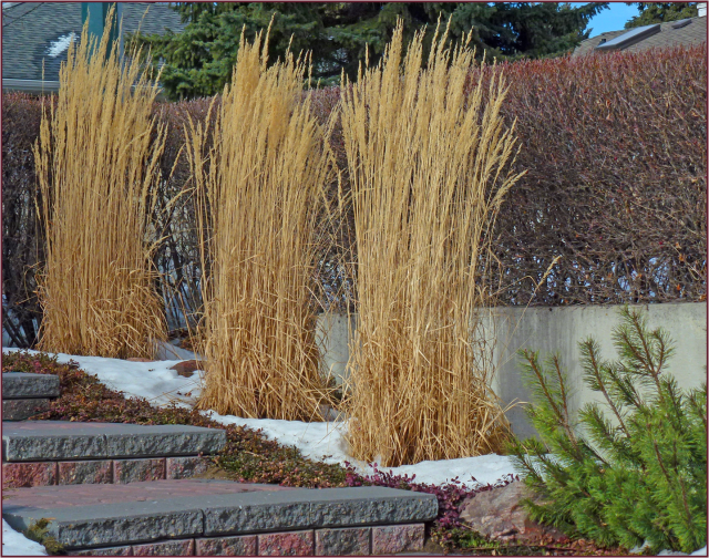 On a smaller scale, columnar form is seen in these Calamagrostis acutiflora 'Avalanche'. They provide winter interest in both form and colour. Photo: Sue Gaviller