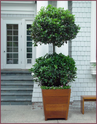 Bay Laurel Topiary