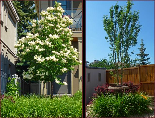 Daylily underplanting