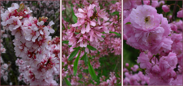 Despite their similar appearance when seen from a distance, these three shrubs have very different blossoms. Left – Prunus tomentosa. Middle – Prunus tenella. Right – Prunus triloba multiplex.  Photos: Sue Gaviller
