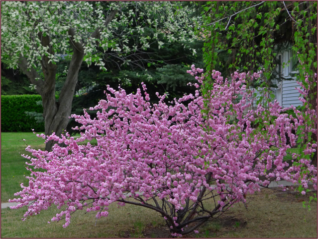 Urban gardening design - Prunus Triloba Multiplex 171 Not Another Gardening Blog
