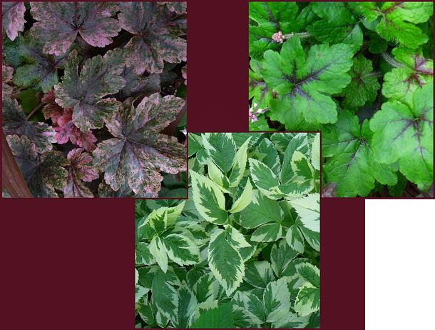 bicolour foliage resize