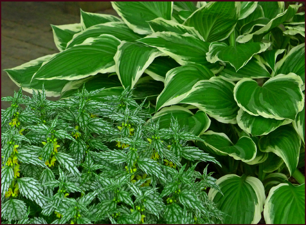 Hosta and Lamiastrium resize