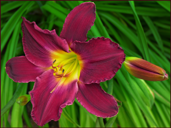 Velvety and ruffled, it is the texture as much as the colour of Hemerocallis 'Strutter's Ball' that afford it its luxurious appearance. Photo: Sue Gaviller