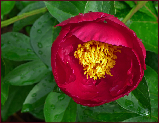 Glossy dark green foliage sets the stage for this single red peony – petals like layers of mouth-watering buttercream icing and stamens of mac n' cheese look good enough to eat. Photo: Sue Gaviller