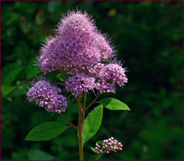The inflorescence of Spiraea douglasii appears fuzzy, but closer inspection reveals that it is many tiny protruding stamens creating the fuzzy-looking texture. Photo: Pat Gaviller