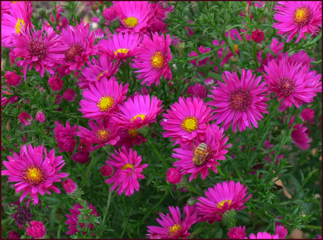 Aster novae-angliae  'Alma Potschke'. Photo: Sue Gaviller