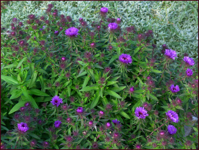 Aster novae-angliae  'Purple Dome'. Photo: Sue Gaviller