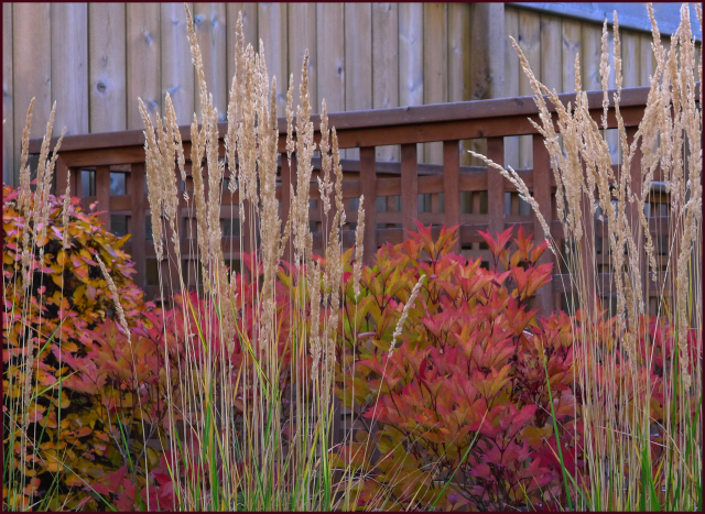 Calamagrostis 'Avalanche' beautifully complements Cotoneaster (left) and Viburnum trilobum 'Bailey Compact' (middle. Photo: Sue Gaviller