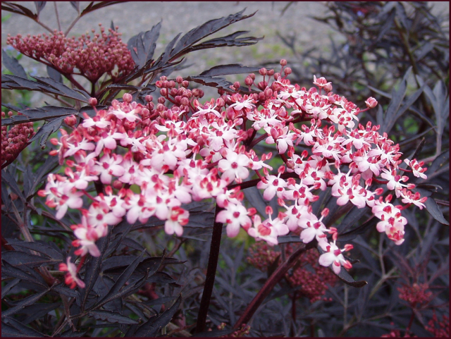 Sambucus nigra 'Black Lace'. Photo: Amanda Slater