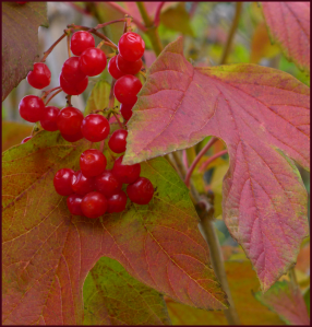 Viburnum trilobum berries