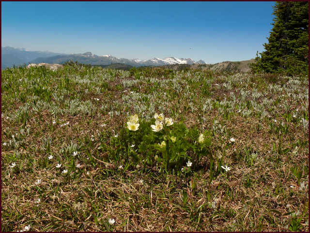 Alpine meadows are a classic example of plants intermingling in nature. Here one lone Anemone occidentalis blooms alongside Claytonia lanceolata and emerging Antennaria lanata foliage.Photo: Pat Gaviller