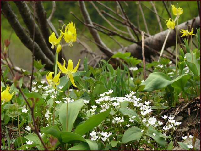 Zoomed in further ones sees that Claytonia lanceolata grows amongst the Erythronium grandiflorum. Photo: Pat Gaviller