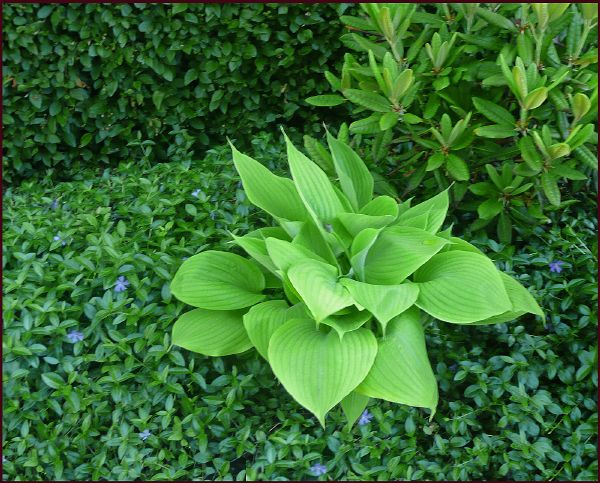 Hosta 'Sum and Substance' stands out because of its very coarse texture (large leaves) and its bright lime green colour. Photo: Sue Gaviller
