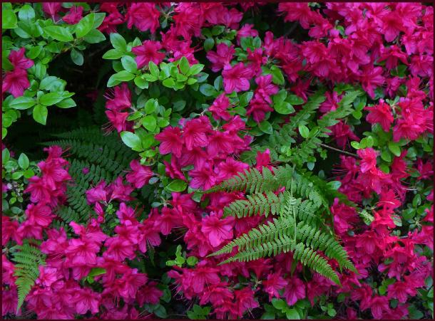 Portland Japanese Garden - ferns and rhodos