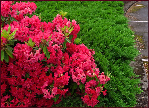 Rhododendrons grow everywhere in Oregon, much like Syringa and Potentilla grow in our climate. Here a coral-red rhodo grows alongside spreading juniper in a parking lot planting.  Photo: Sue Gaviller