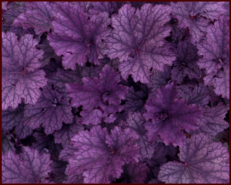 Heuchera 'Frosted Violet'. Photo: Sue Gaviller