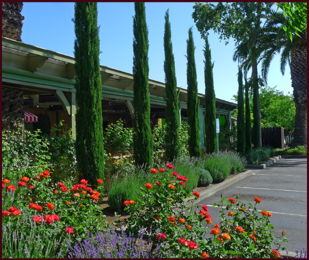 In Yountville, a gorgeous little town just North of Napa, beautiful gardens and landscapes abound - here lavender, roses and the ever-present columnar cypress adorn a restaurant parking lot. Photo: Sue Gaviller