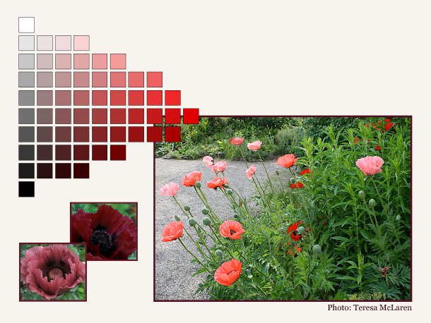 This planting of red, coral and pink poppies is unified by the common hue of red; the two inset photos provide further examples of colours in the same family.