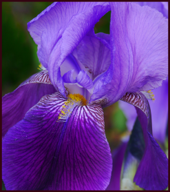 bicolour iris