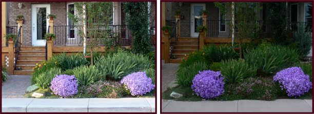 Left: High value colours, like the pastel mauve of these Campanula, appear washed out under strong sun. Right: These same plants seem to glow in the fading light of dusk. Photos: Cathy Gaviller.