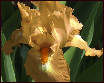 peach iris-resample