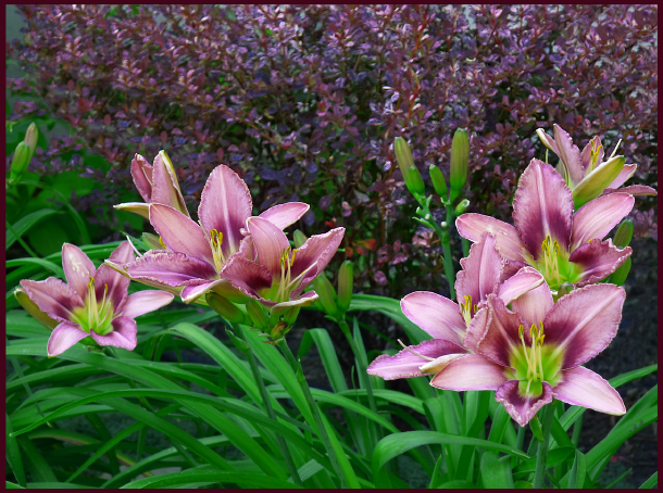 purple bicolor daylily and rose glow barberry 2