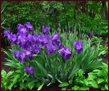 Purple-blue Iris back