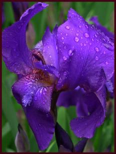 Purple-blue Iris close