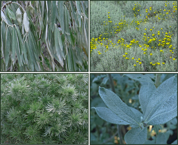 Garden Grays - aren't really gray; they are very desaturated blues and greens. Clockwise from top left: Elaeagnus angustifolia, Santolina chamaecyparissus, Salix salicola, Artemisia schmidtiana. Photos: Sue Gaviller