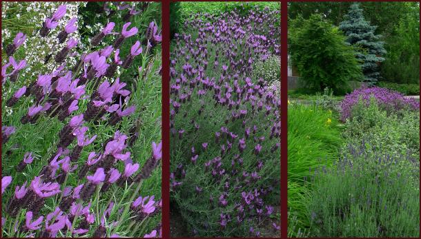 spanish-lavender-resize