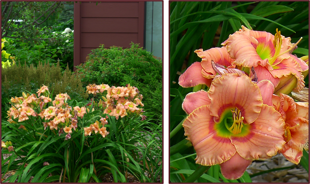 strawberry-candy-daylily-assimilation-2-resize
