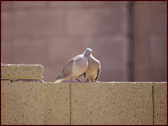 A really good smooch works too. Mourning Dove photos: Pat Gaviller